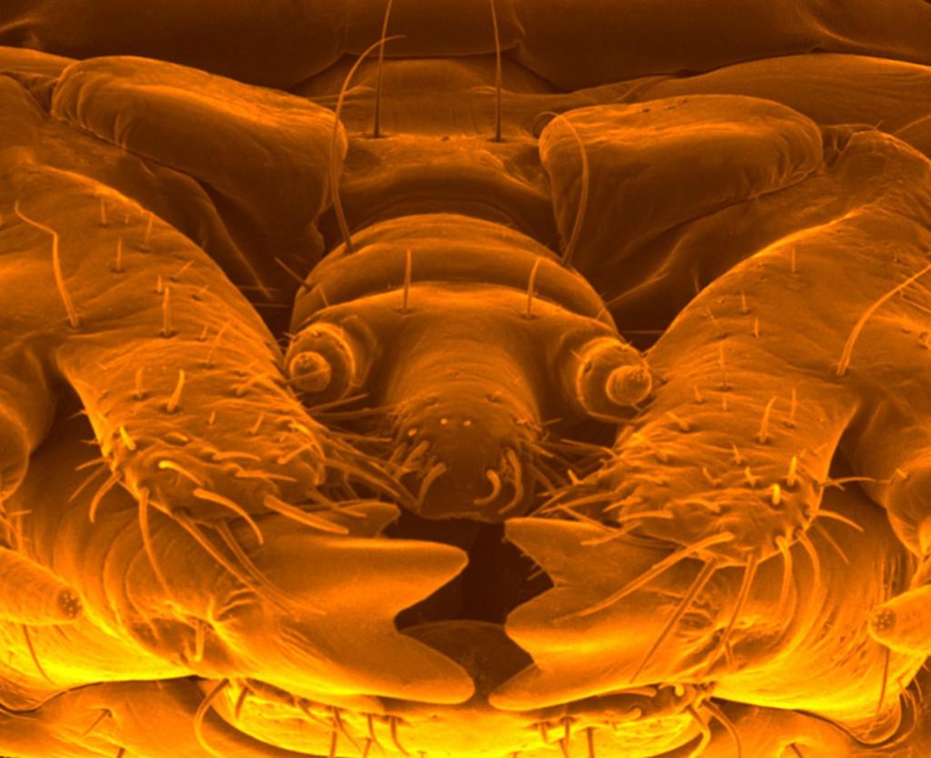 Raster $steffen schellhorn &halle 160102/ elektronenrastermikroskopische aufnahme / kŠferlarve / Pyrocha coccinea / FeuerkŠfer / mundwerkzeuge